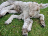 Seven Legged Lamb Photo