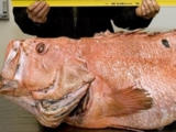 Giant Rockfish Photo